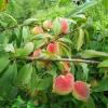 Đào Mẫu Sơn (Mau Son peach)