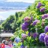 Du lịch Nhật Bản hè 2017 giá tốt ngắm hoa cẩm tú cầu từ Tp.HCM