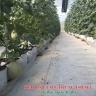Keo bẫy bọ phấn trắng Israel, keo dính côn trùng nông nghiệp (combo 20 mét) và bẫy ruồi các loại, bẫy bướm...