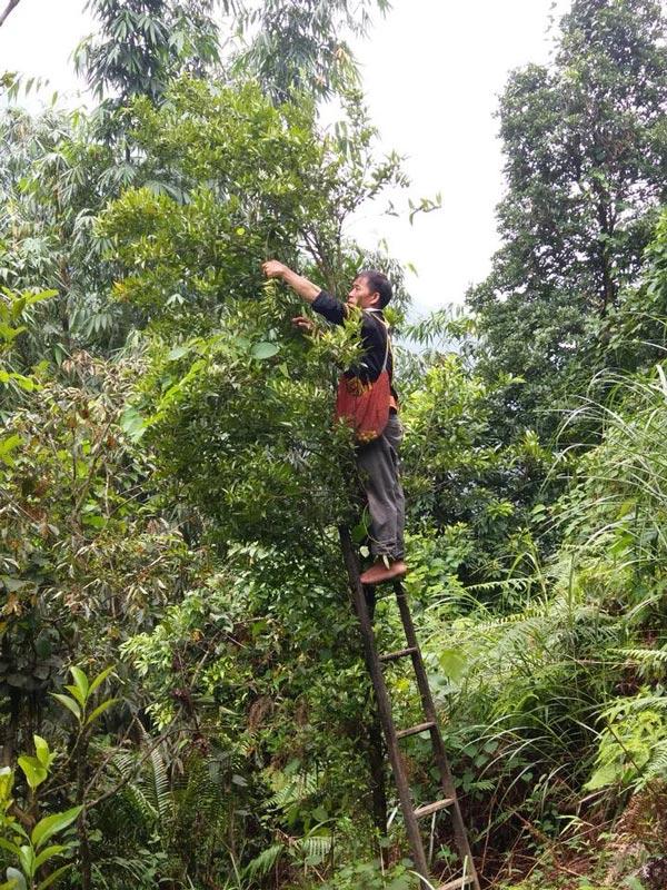 Chanh rừng Mẫu Sơn (Mau Son forest lemon) - OCOP 3 SAO