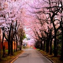 Tour du lịch Hàn Quốc: Đón mùa hoa anh đào xứ sở Kim Chi: Seoul - Đảo Nami - Công viên Everland bay Estar Jet 5 ngày 4 đêm