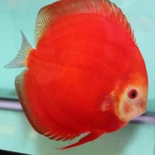 Cá dĩa đỏ (Red Discus)