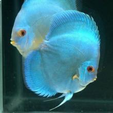 Cá dĩa xanh trắng (Blue-white Discus)