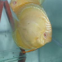 Cá dĩa mắt đỏ (Albino Discus)