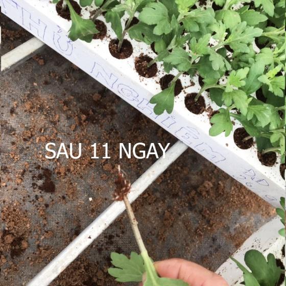 Bột kích thích ra rễ Israel dành cho cây thân thảo - Hormoril T3 có thành phần With Fungicide ngăn ngừa nấm bệnh